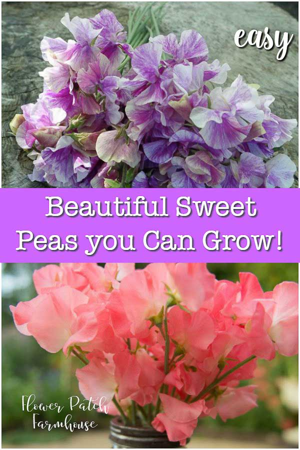 Colorful Sweet Peas with text overlay, Beautiful Sweet Peas you Can Grow, Flower Patch Farmhouse