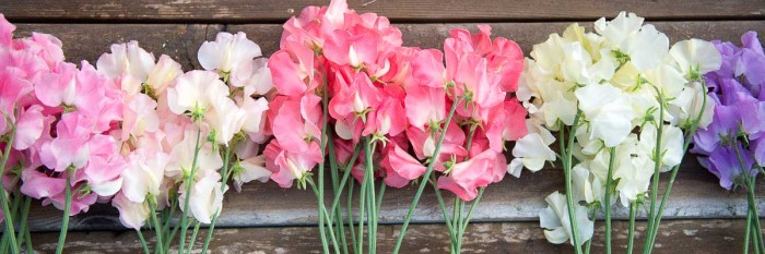 sweet peas lying on table