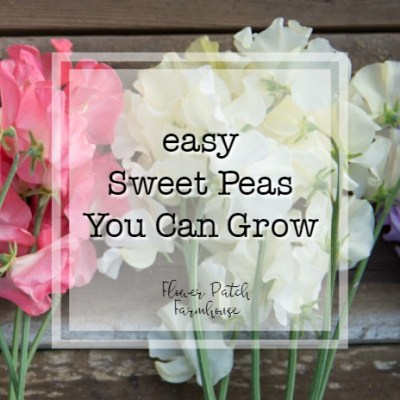 Sweet peas with text overlay, easy Sweet Peas you Can Grow