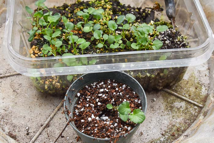Pansy seedling in 3 inch pot, Flower Patch Farmhouse, thinning and potting up seedlings