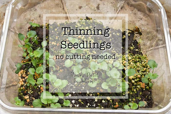 Pansy seedlings in a plastic tub with text overlay, Thinning seedlings, no cutting needed, Flower Patch Farmhouse