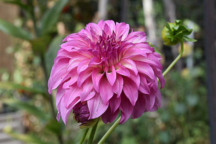dark pink dahlia growing in garden, Flower Patch Farmhouse
