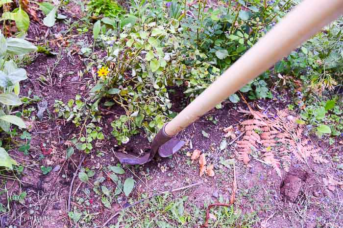 digging up a dying rose to save, Flower Patch Farmhouse