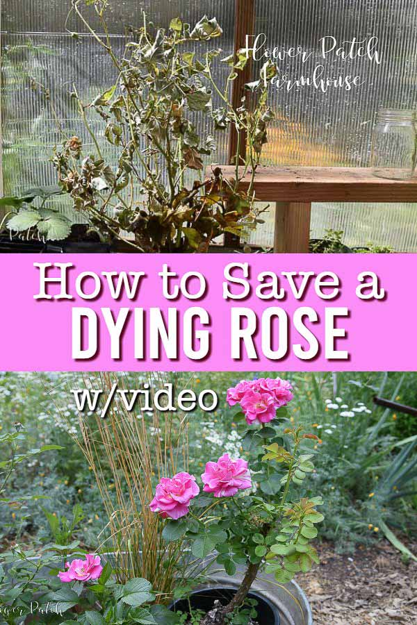 dying rose and healthy rose with text overlay, How to Save a Dying Rose w/video, Flower Patch Farmhouse