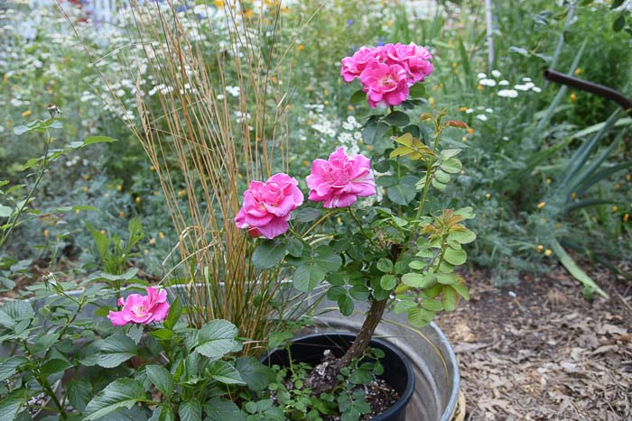 Candyland rose blooming. Flower Patch Farmhouse