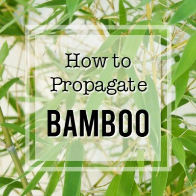 How to propagate bamboo