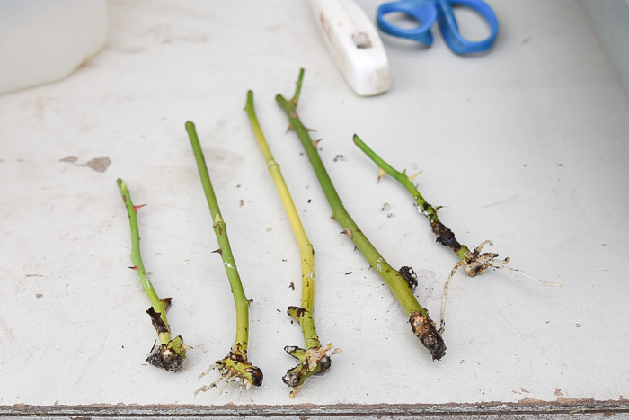 Rooted rose cuttings ready to be potted on
