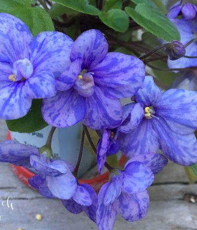 African Violet, trailing african violet plant