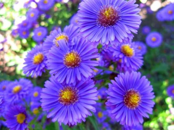 Aster Flowers Pictures Gallery  79 Pics  pretty purple aster flowers picture jpg