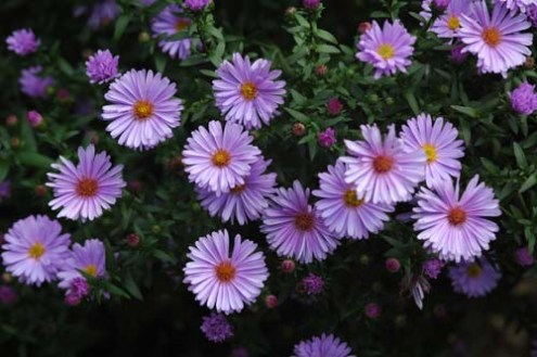 Pictures of flowers  Aster aster