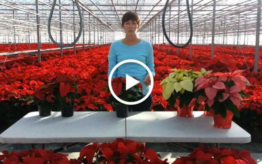 poinsettia care tips