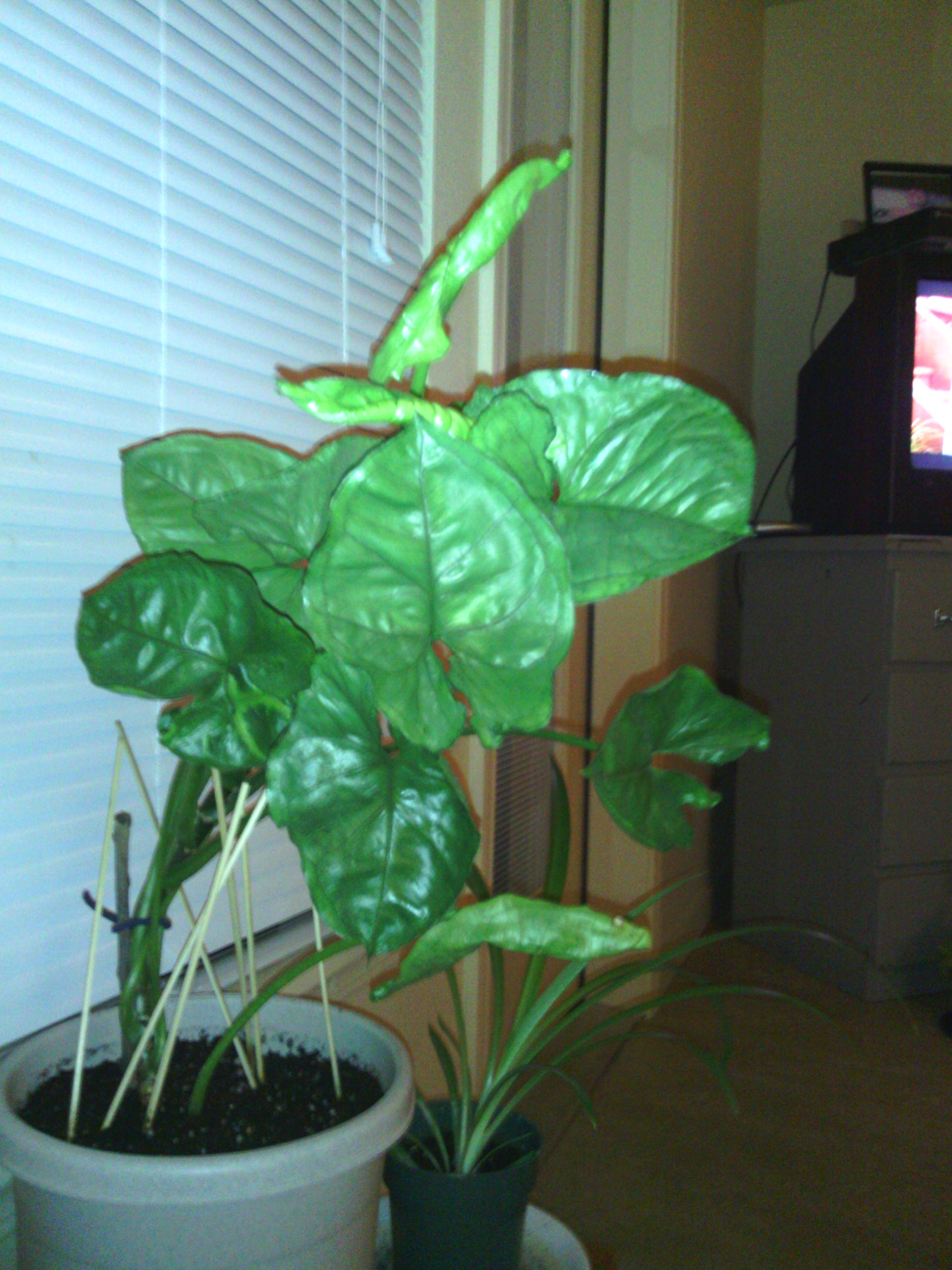 Best Kitchen Gallery: What Is This Plant With Green Arrow Shaped Leaves of Arrowhead House Plant Names on rachelxblog.com