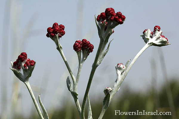 Helichrysum sanguineum, Red Everlasting, Red cudweed, דם-מכבים אדום
