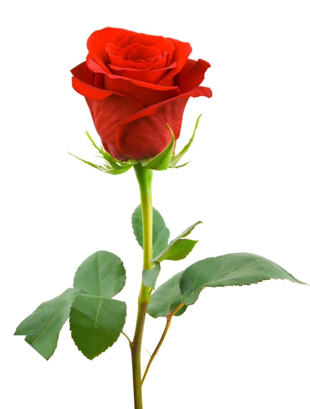 Image result for single red rose