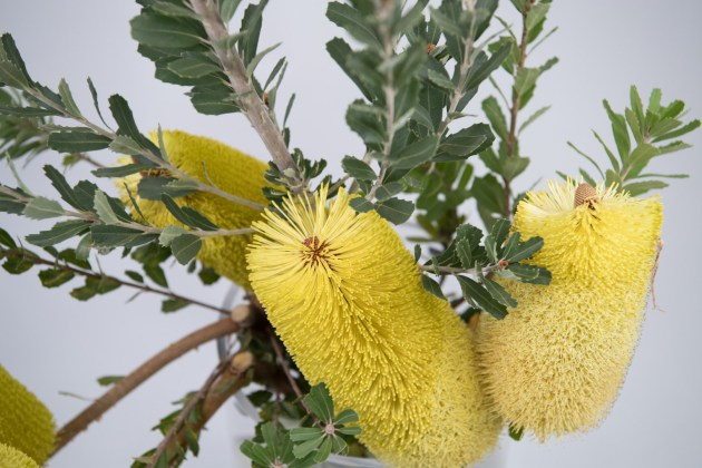 Flowers WA Perth - Native - Banksia Permossa