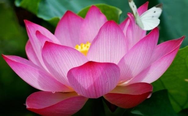 71330_egyptianlotusflower.jpg