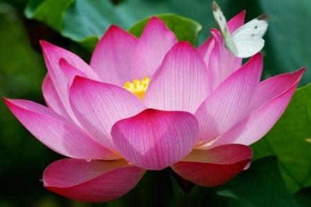 What is the scientific name of lotus flower beautiful flowers 2018 nymphaea wikipedia nymphaea lotus flower scientific name nelumbo nucifera bangkok thailand lotus flower scientific name nelumbo nucifera bangkok thailand i mightylinksfo