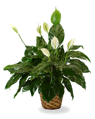 FlowerWyz Cheap Funeral Plants Plants For Funerals