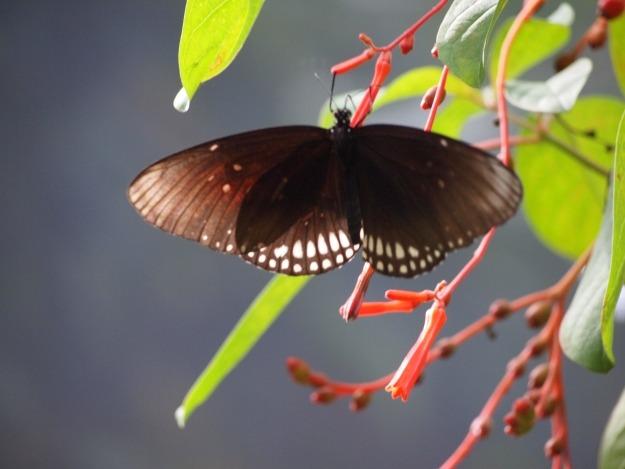 Vlinders op Aruba