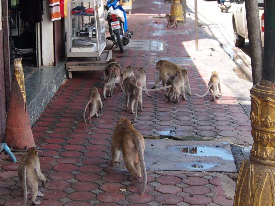 Thailand Lopburi Apen makaken 3