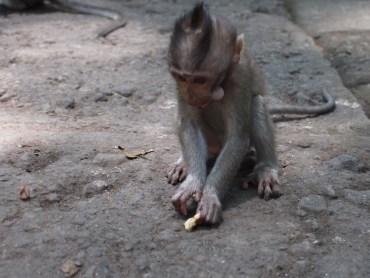 Monkey Forest Bali ubu