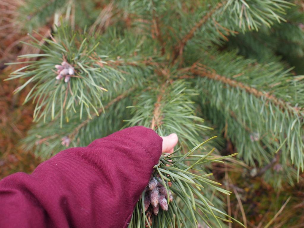 Zelf omgezaagde kerstboom van de Veluwe