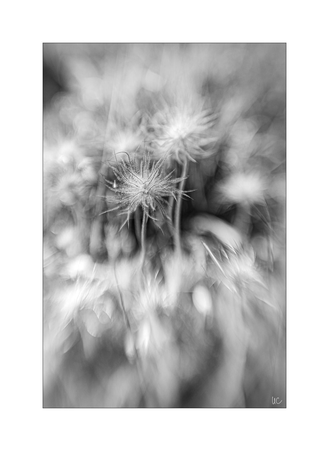 Blumen in Schwarzweiß– No. 2/3| Foto: Ulf Cronenberg, Würzburg