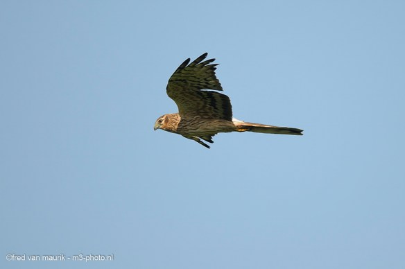 Montagu's harrier during flight