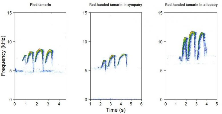 Spectrograms Showing Red-Handed Tamarin and Pied Tamarin Calls