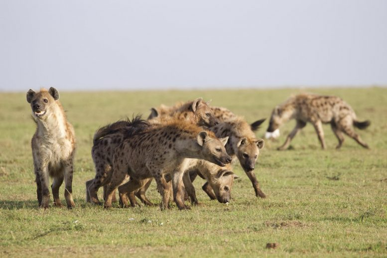 Hyenas Benefit From Being Born to High-Ranking Mothers