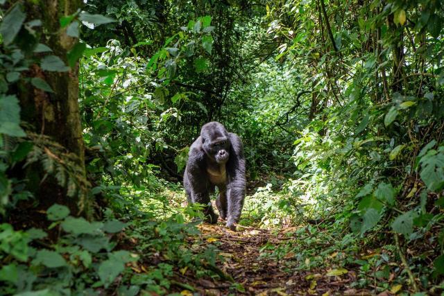 gorilla habitat loss