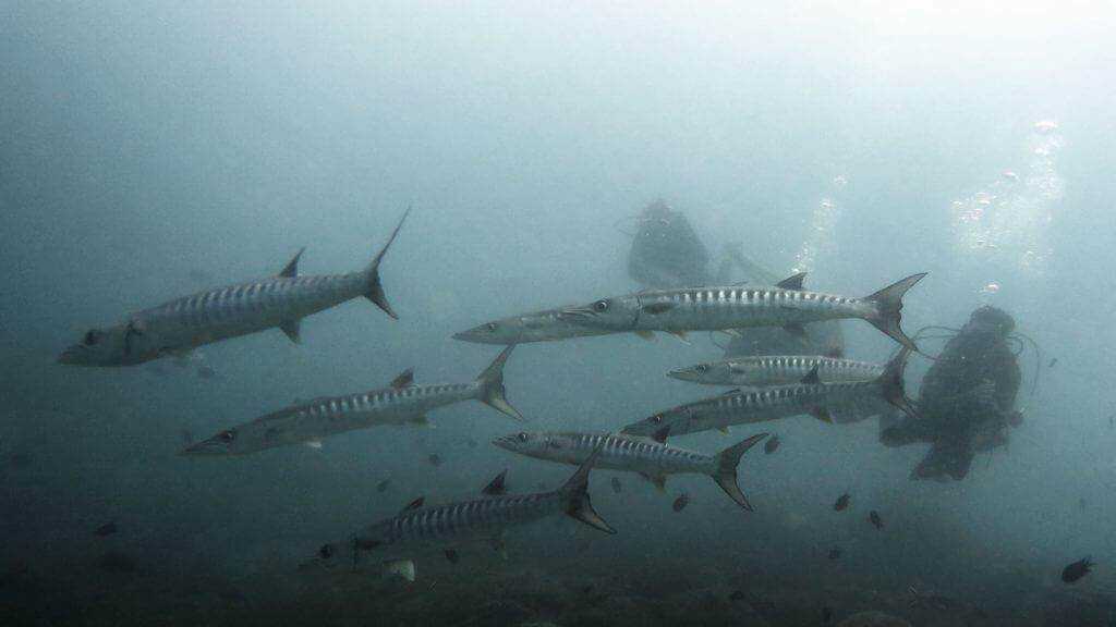 duiken filipijnen barracudas
