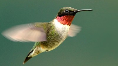 kızıl sinek kuşu