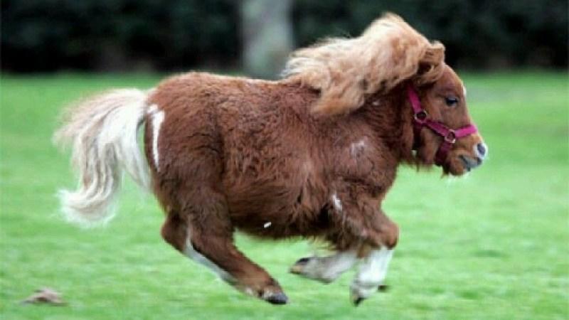 Dünyanın en küçük atı: Thumbelina