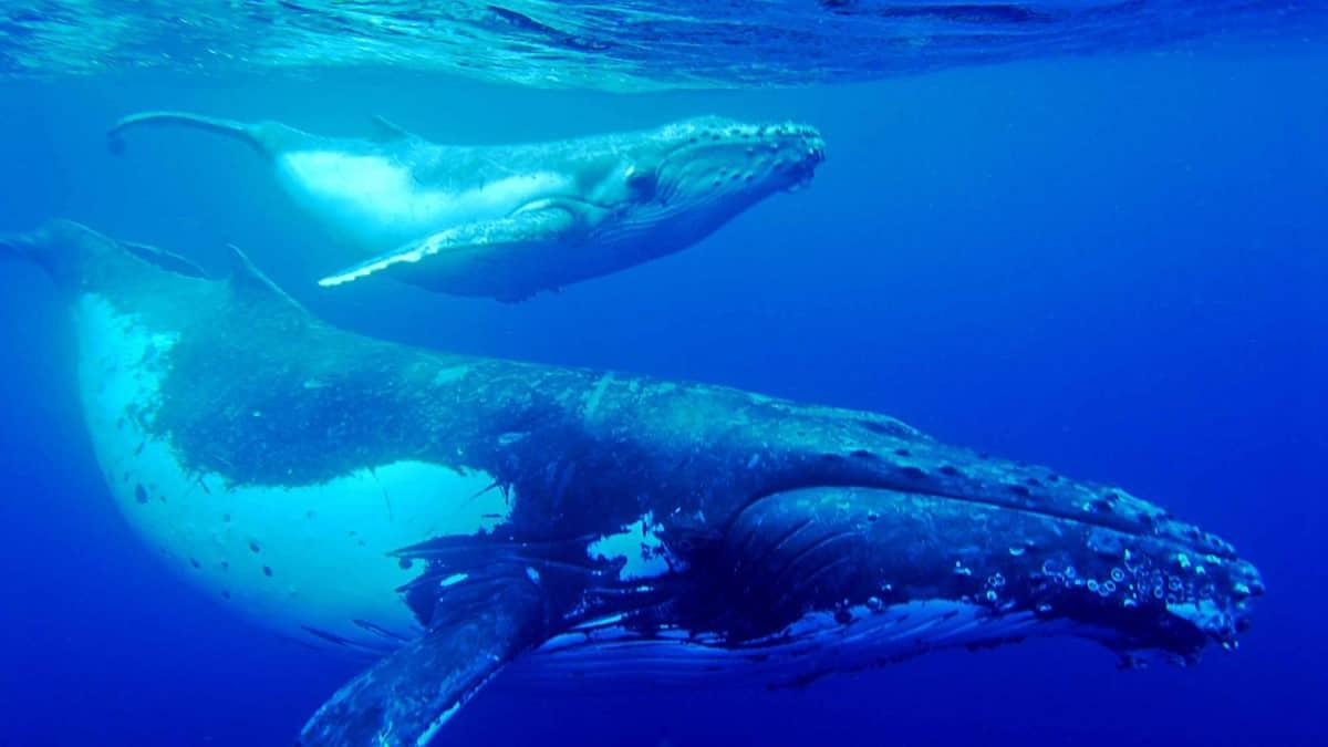 Balina Çağrıları Okyanusun Haritalanmasında Yardımcı Olabilir