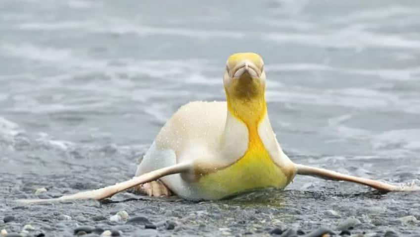 Sarı Penguen