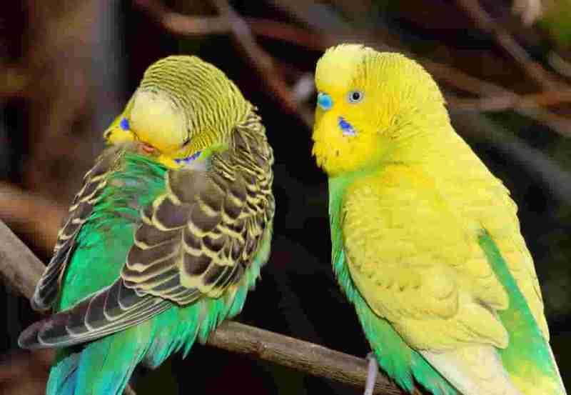 Fischer Muhabbet Kuşları