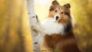 Shetland Çoban Köpeği özellikleri