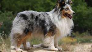 Shetland cinsi Çoban Köpeği