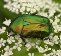 scarbaeid beetle