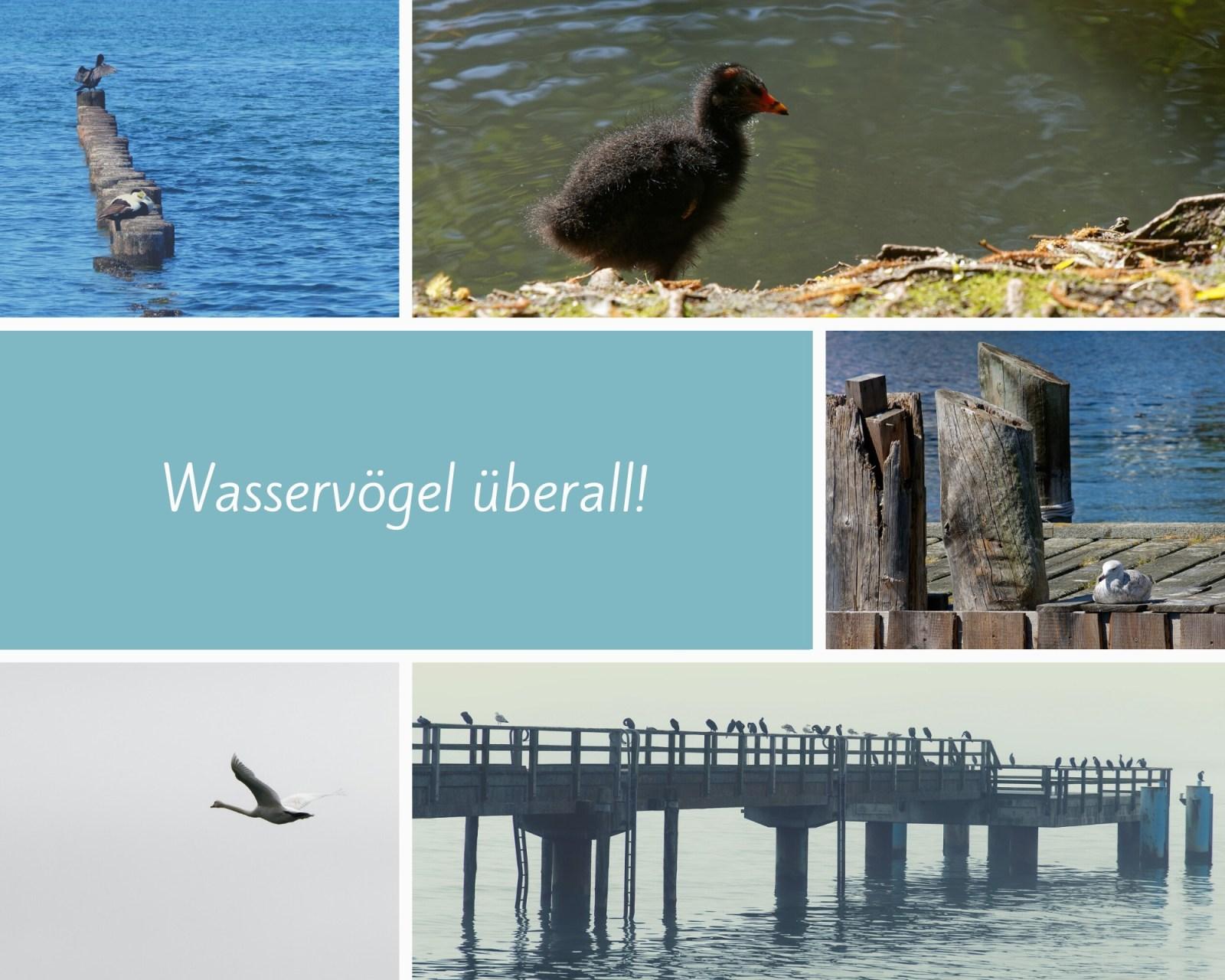 Titelbild für Wasservögel auf Rügen