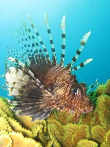 Lionfish_by_prilfish