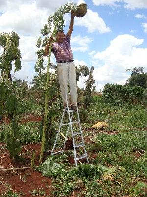 Pé de girassol plantado por Chico Neto chegou a  3,40 metros (Foto: Chico Neto/ Arquivo Pessoal)
