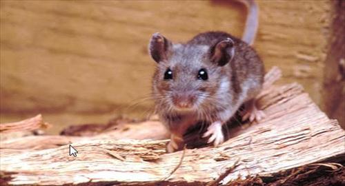 rato-silvestre-área-rural