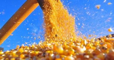 Colheita-safrinha milho