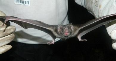 morcego raiva