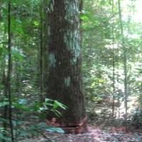 Árvore cai e mata serrador em área de floresta fechada de fazenda no interior de Novo Progresso