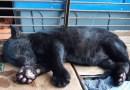 Raro e ameaçado de extinção, filhote de onça preta é encontrado perdido por morador em MT