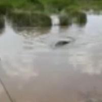 Sucuri é flagrada no Lago Municipal em Novo Progresso