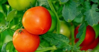 tomatoes-3702925_1920